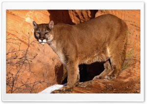Walk In The Mountain Cougar