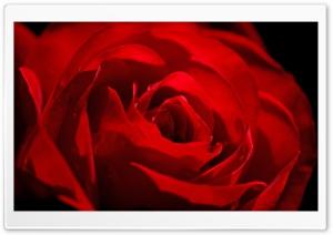 Red Rose Love Flower