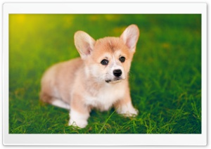 Cute Pembroke Welsh Corgi Puppy
