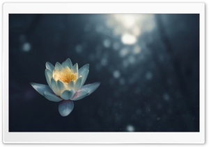 White Water Lily Flower Night