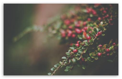Download Berries Bush, Bokeh UltraHD Wallpaper