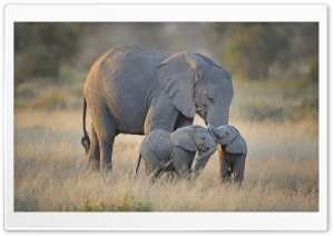 African Elephants Mother and...