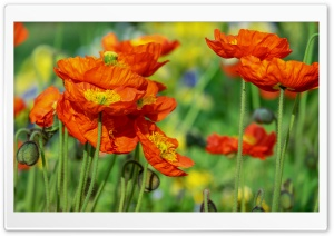 Iceland Poppies Orange...