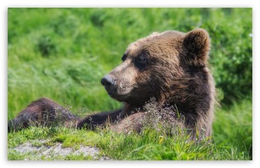 Download Grizzly Bear Sunning Himself UltraHD Wallpaper