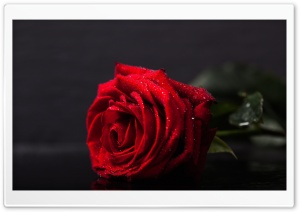 Valentines Day Red Rose