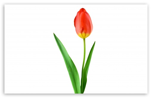 Download Single Red Tulip UltraHD Wallpaper