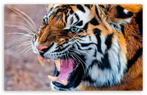 Download Snarling Tiger UltraHD Wallpaper