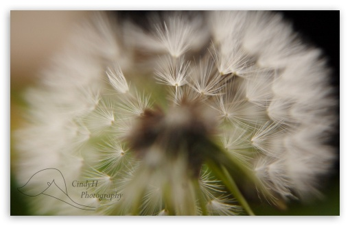 Download Dandelion UltraHD Wallpaper
