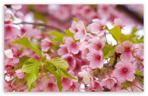 Download Pink Sakura Bloom UltraHD Wallpaper
