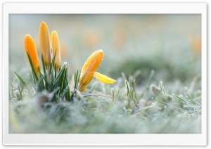 Yellow Crocuses Flowers,...