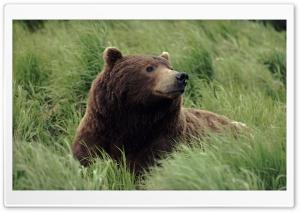Grizzly Bear Near Mcneil...