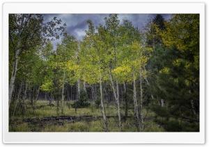 Aspen Trees Saplings