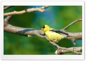 Moril-Goldfinch