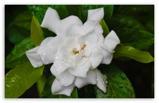 Download White Flower UltraHD Wallpaper