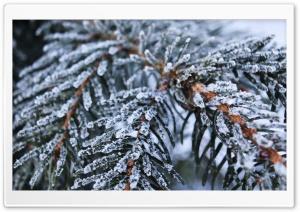 Frozen Spruce