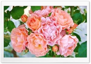Garden Roses Flowers