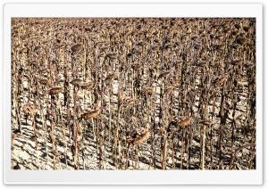A Dried Sunflower Field