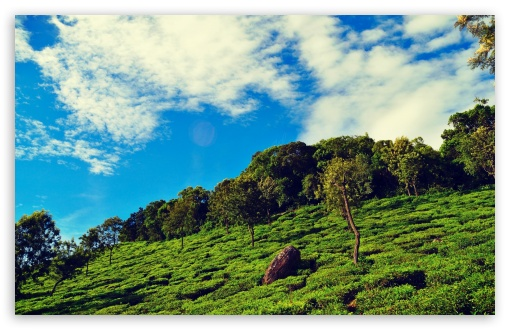 Download Tea Garden UltraHD Wallpaper