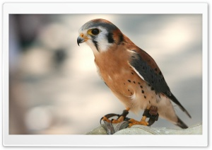 Elite Falcon