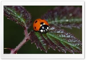 Real Ladybug
