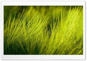 Green Wheat Plant