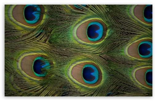 Download Peacock Feathers UltraHD Wallpaper