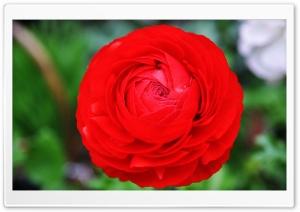 Giant Red Flower