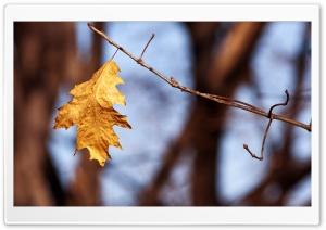 Withered Oak Leaf, Autumn
