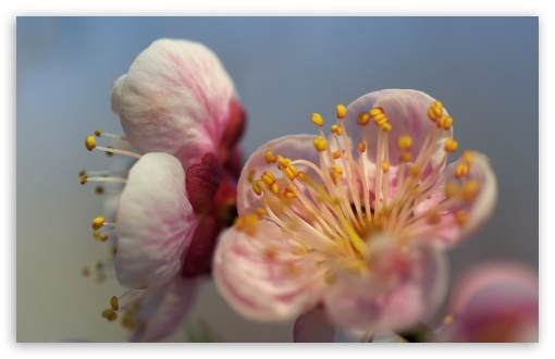 Download Blossom Macro UltraHD Wallpaper