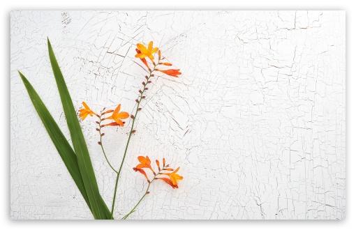 Download Orange Crocosmia Flower UltraHD Wallpaper