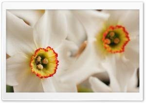 White Daffodil Macro