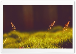 Baby Pampas Plume Grass