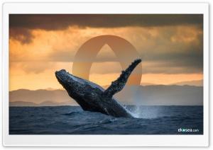 Humpback Whale - ekosea