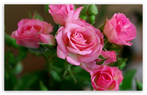 Download Pink Roses Branch UltraHD Wallpaper