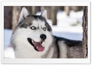 Husky Dog Winter