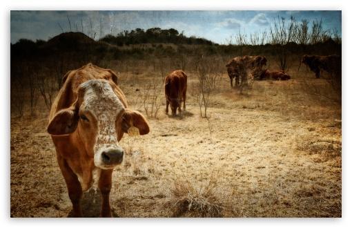 Download Texas Cows UltraHD Wallpaper