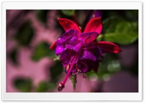 Beautiful Fuchsia Flower