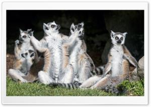 Ring-tailed Lemurs Animals...