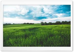 Green Wheat Field, Rain...