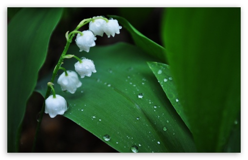 Download Lily Of The Valley UltraHD Wallpaper