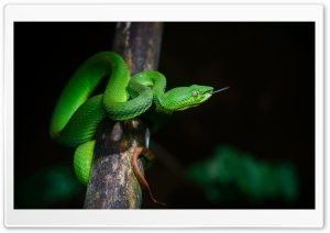 Bright Green Pit Viper Snake