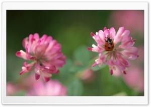 Ladybug On A Pink Clover Flower