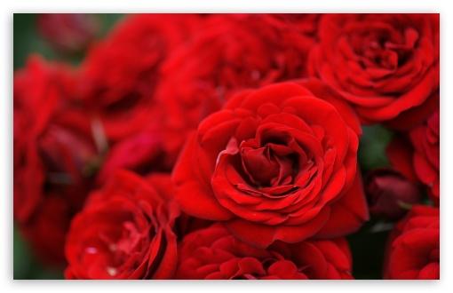 Download Red Roses Macro UltraHD Wallpaper