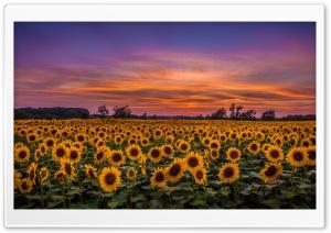 Sunflowers, Field