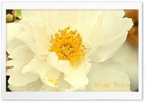 White Peony Flower Close-up