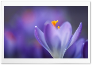 Purple Crocus Flower Macro