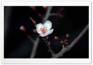 White Simple Rose