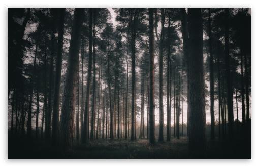 Download Woodland, Trees, Morning UltraHD Wallpaper