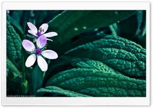 Flower From Iran