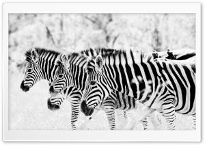 3 Zebra's